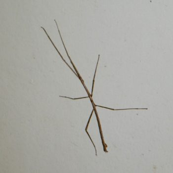Stick Insect, Australien