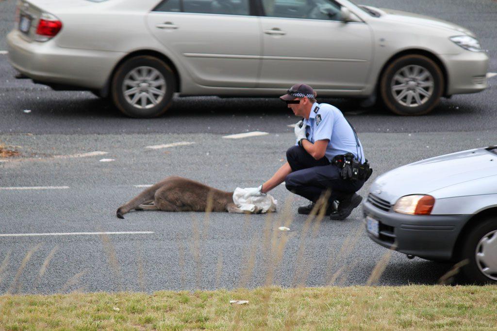 Wildunfall mit Känguru in Australien