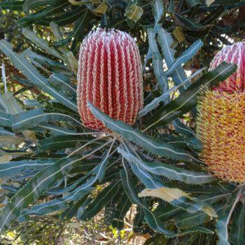 Banksia Busch im Kings Park bei Perth Australien