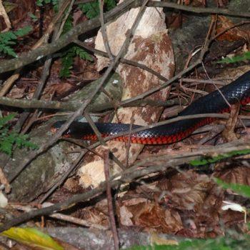 Rotbäuchige Schwarzotter Schlange