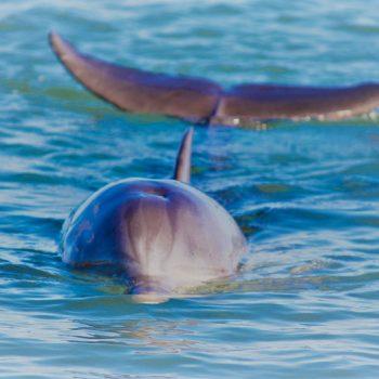 Delfin - Monkey Mia, Australien