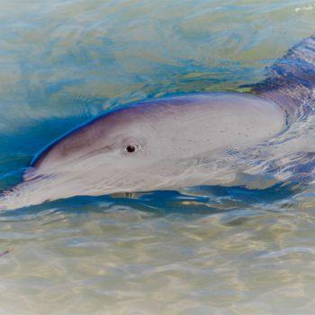 Delfin, Western Australia