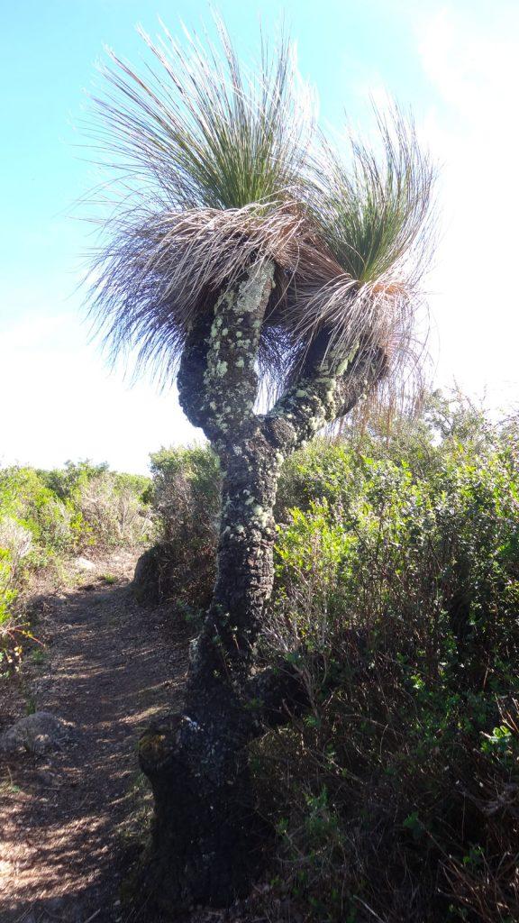 Grasbaum am Wegesrand, Porongurup NP, Wandern Australien
