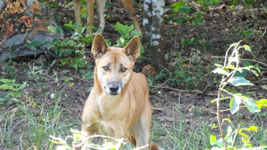 Dingo in Australien