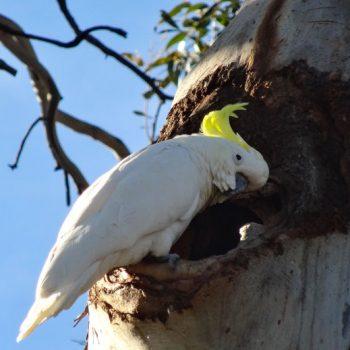 Gelbhauben Kakadu in Australien