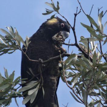 Gelbohr Rabenkakadu, Australien