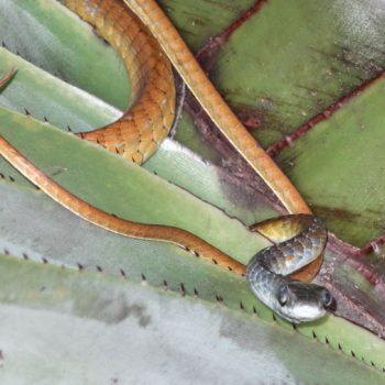 Gelbbauch-Schlange im Litchfield NP