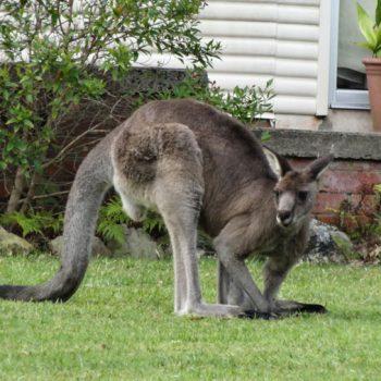 Graues Riesenkänguru in Australien