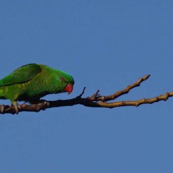 Grüner Sittich in Australien