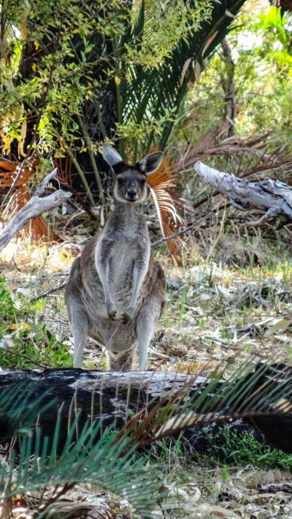 Western-Grey-Känguru, Yanchep NP