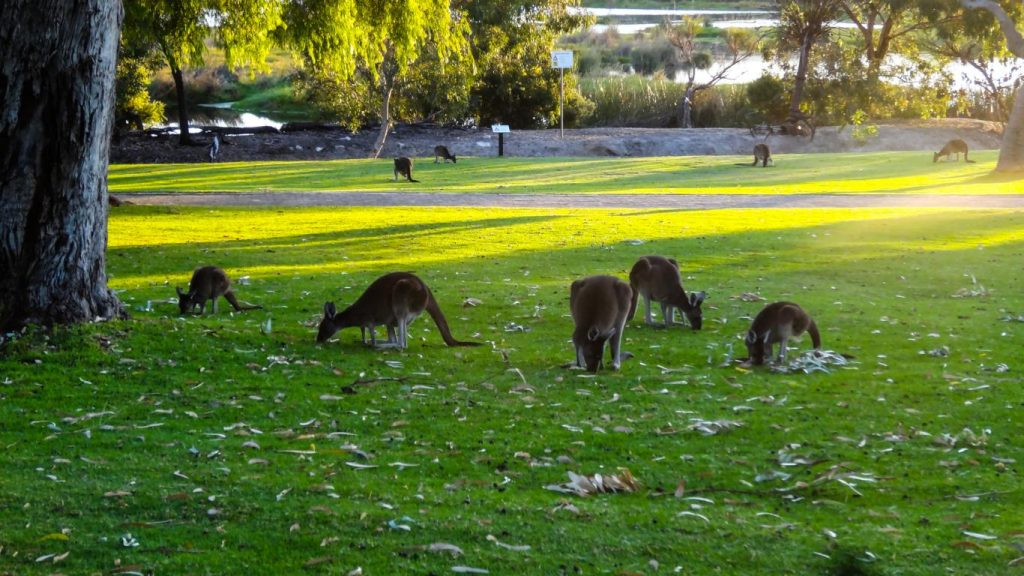 Kängurus am Visitor Center, Yanchep NP, Australien