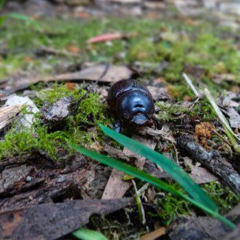 Käfer im Great Otway NP, Great Ocean Road Australien