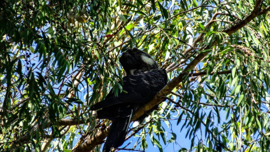 Gelbwangen-Kakadu im Yanchep NP, Australien