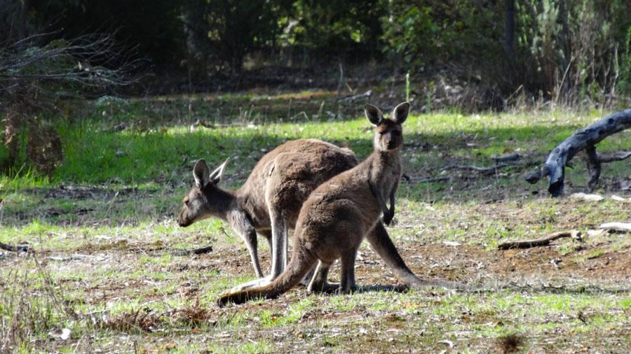 Kängurus am Start zum Granite Skywalk, Porongurup Nationalpark, Wandern Australien