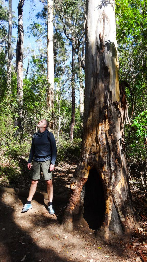 Karri-Baum im Vergleich, Porongurup Nationalpark, Wandern Australien
