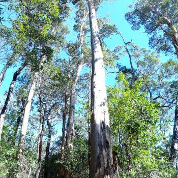 Karri-Baum in Südaustralien