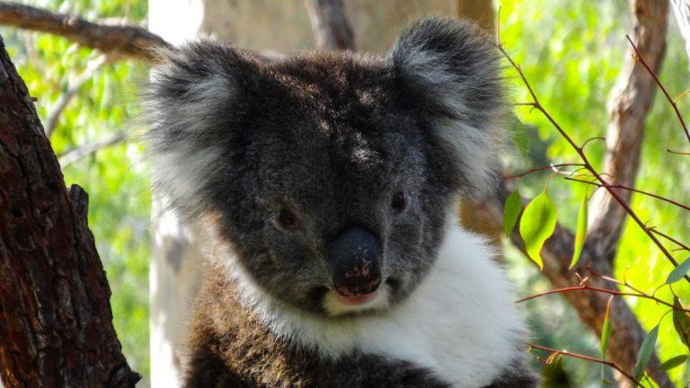 Koala im Yanchep-NP, Australien