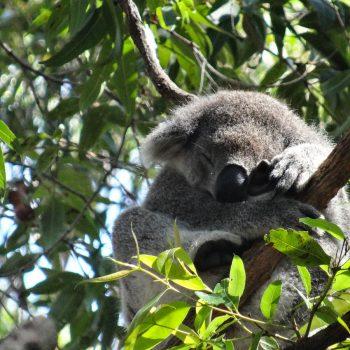 Koala in Australien, Great Ocean Road