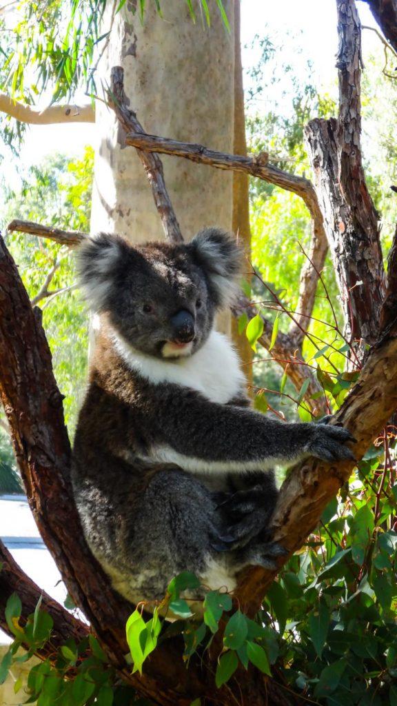Koala im Yanchep NP, Australien