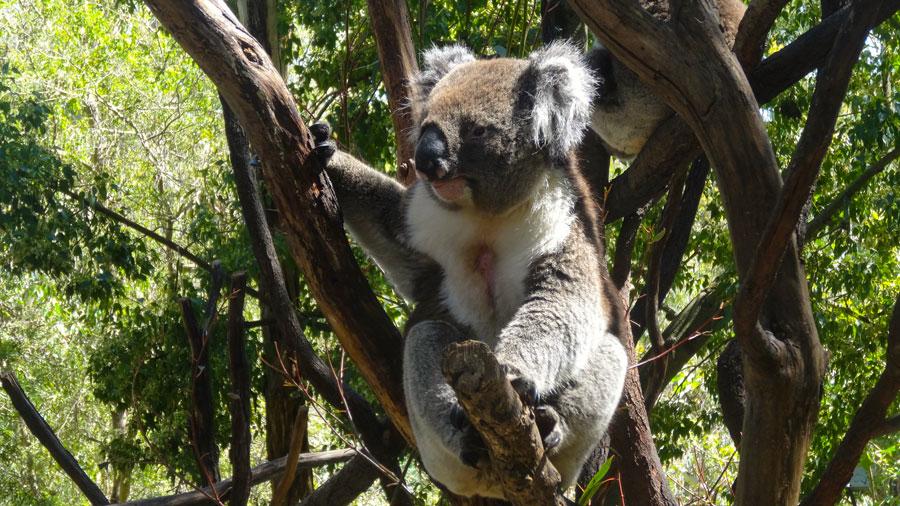 Koala in Australien, Yanchep NP
