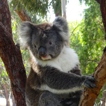 Koala Australien, Yanchep Nationalpark