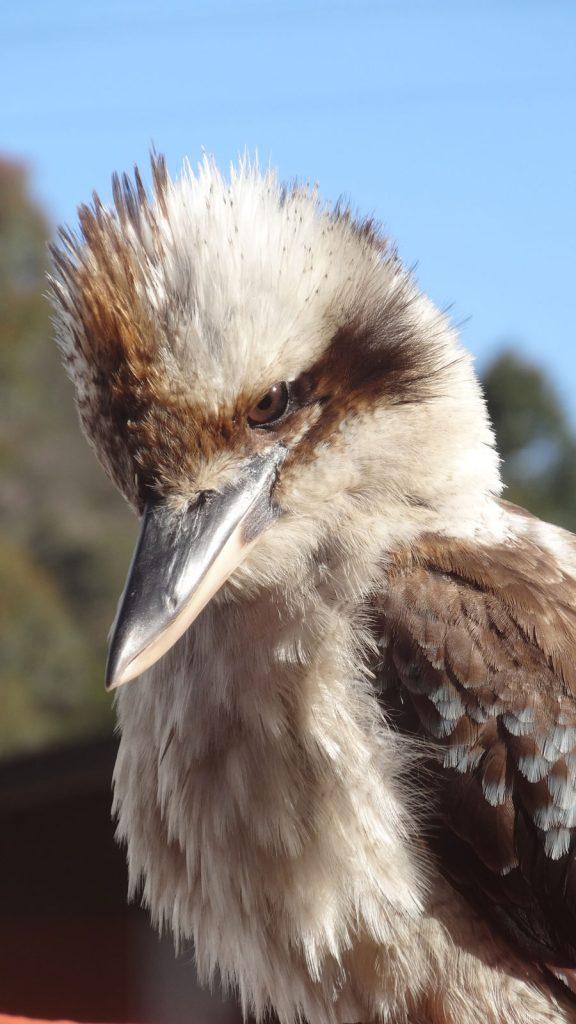 Kookaburra - der lachende Hans