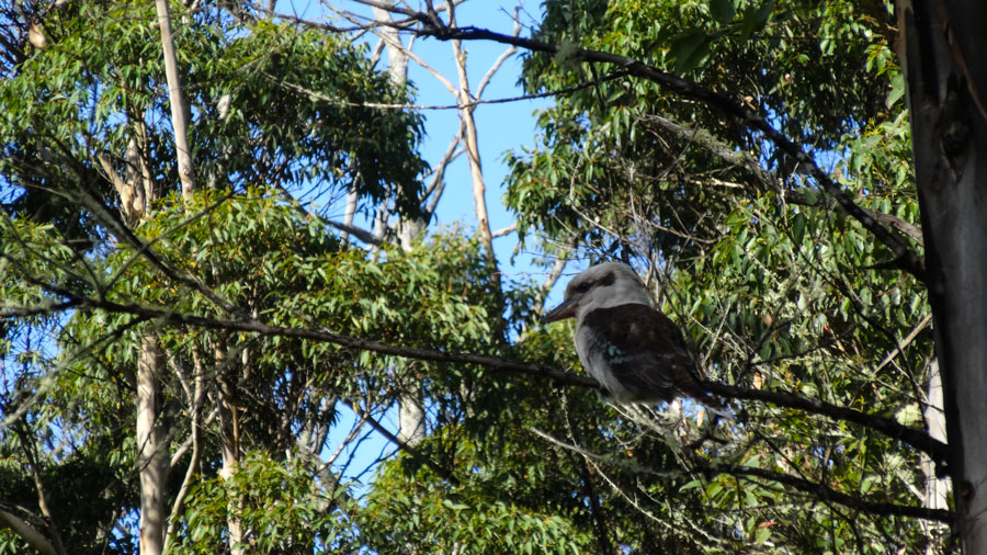Kookaburra Three-peak-loop im Porongurup NP, Australien