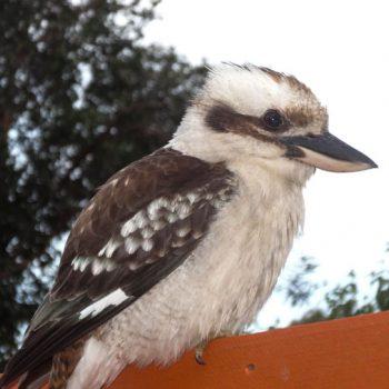 Kookaburra in Autralien