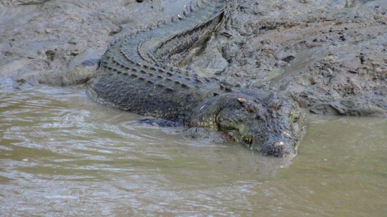 Salzwasser-Krokodil - Adelaide River