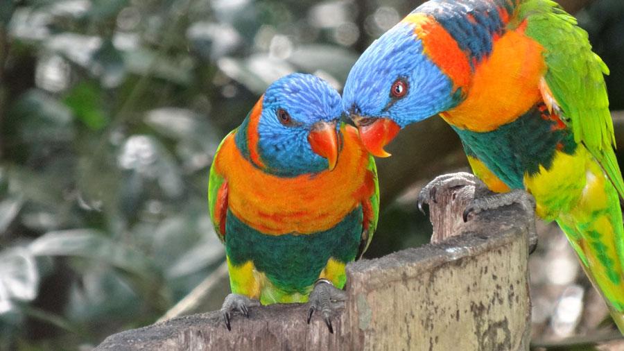 Lorikeet Sittiche in Darwin, Flora und Fauna in Australien
