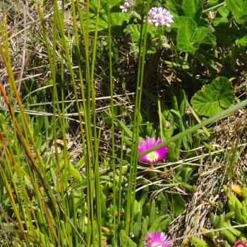 Blumen in Sumpflandschaft in Darwin