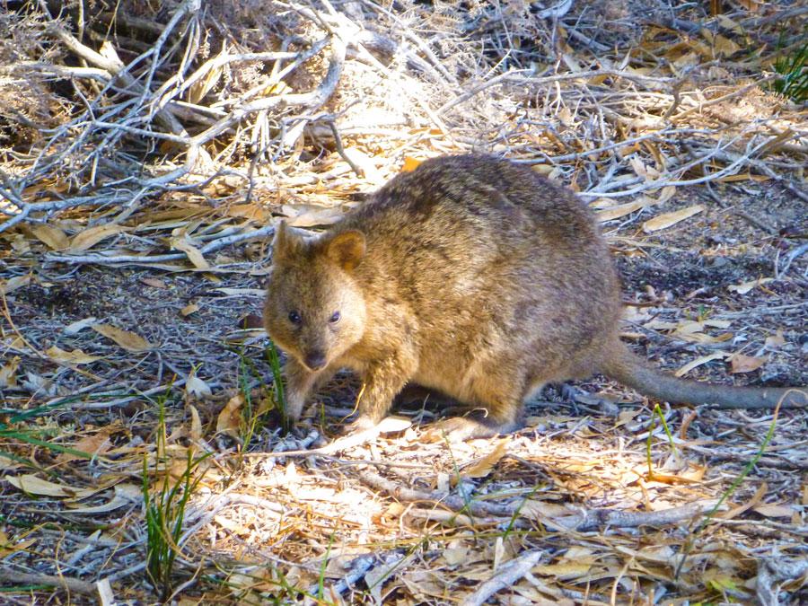 Quokka auf Rottnest Island Australien