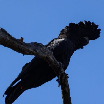 Rabenkakadu in Australien