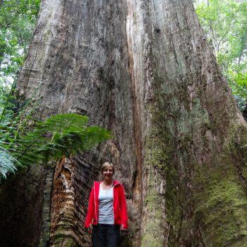 Riesen-Karri-Baum im Süden Australien
