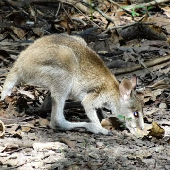 Rock-Wallaby in Australien