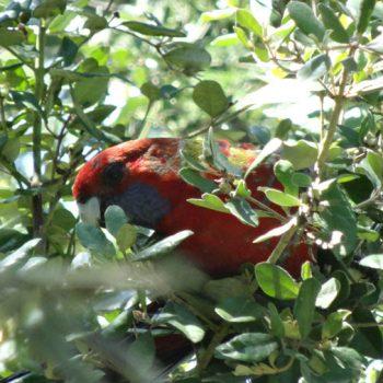 roter Kakadu Australien
