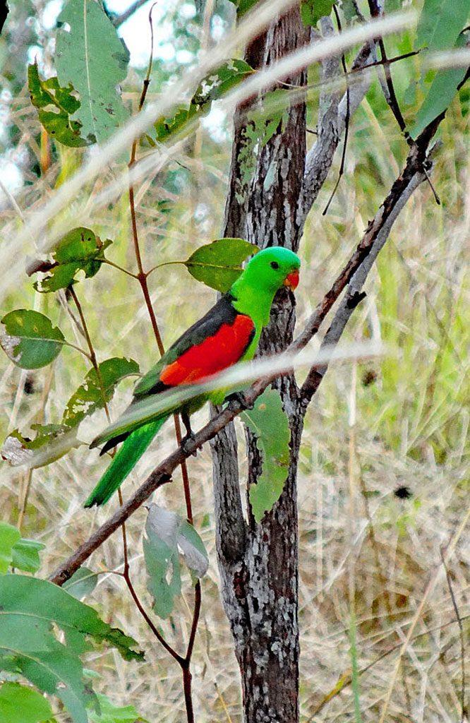 Rotflügel-Sittich im Kakadu Nationalpark