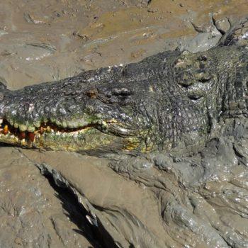 Salzwasser-Krokodil, Adelaide River, Australien