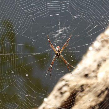 Spinne in Australien