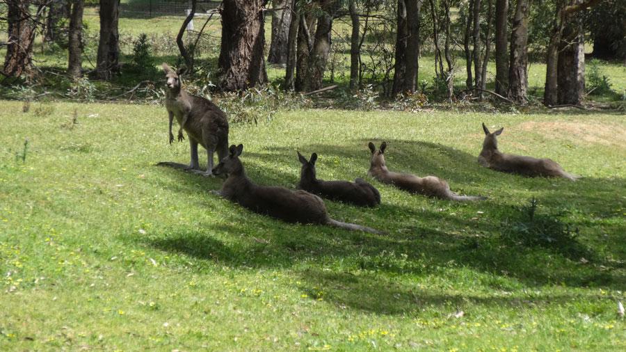 Kängurus the Loop Visitor Center, Grampians Nationalpark