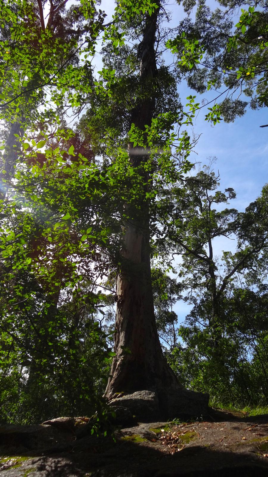 Tree in the Rock, Porongurup NP, Wandern Australien