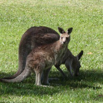 Wallaby Baby in Australien