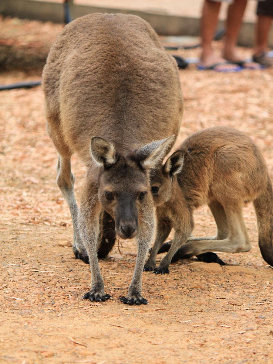 Wallaby mit Baby im Südwesten Australien
