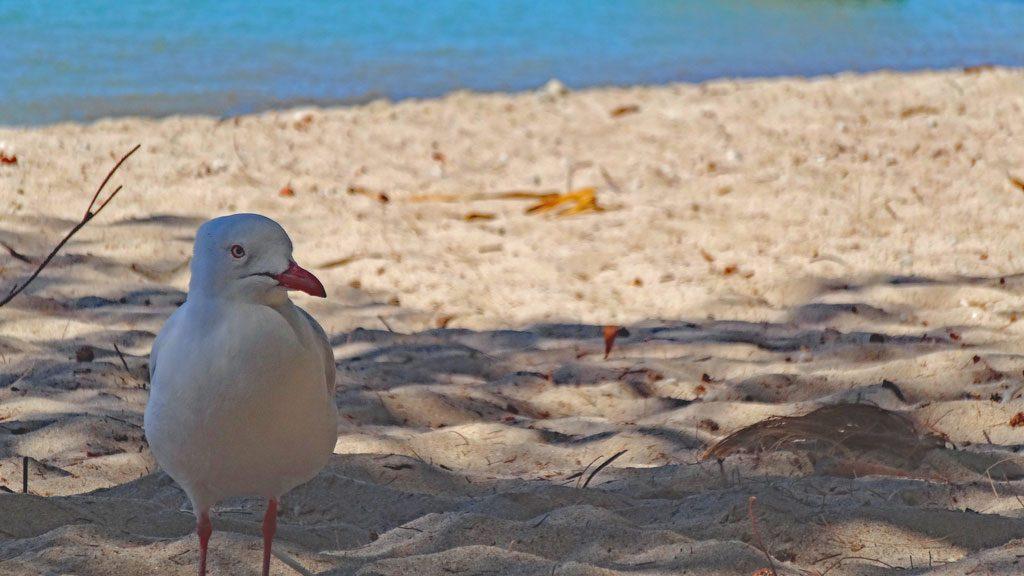 Möwe am Strand von Bowen