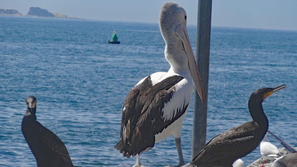 Pelikan in der Batemans Bay