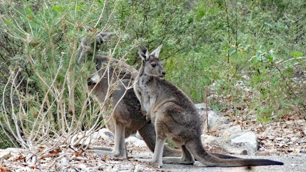 Kängurus im John Forrest Nationalpark