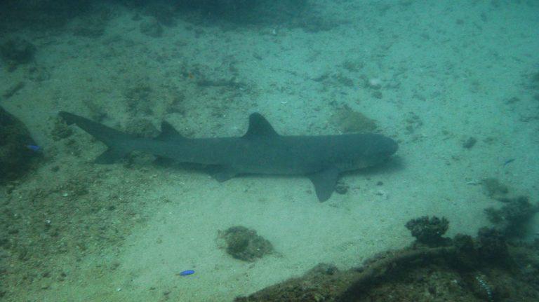 White-Tip Hai im Ningaloo Reef