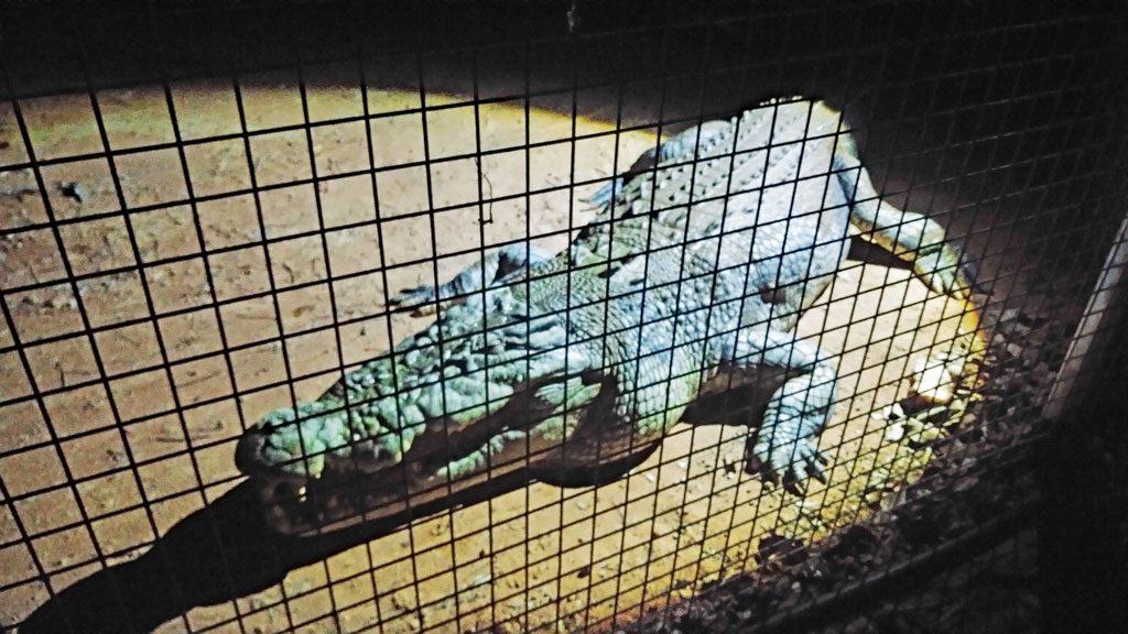 "Salzwasser-Krokodil ""Two Dogs"""
