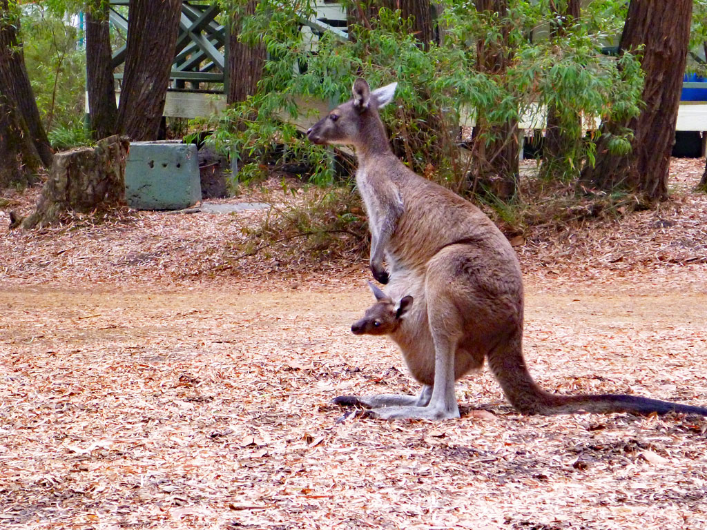 Wallaby mit Baby in Walpole