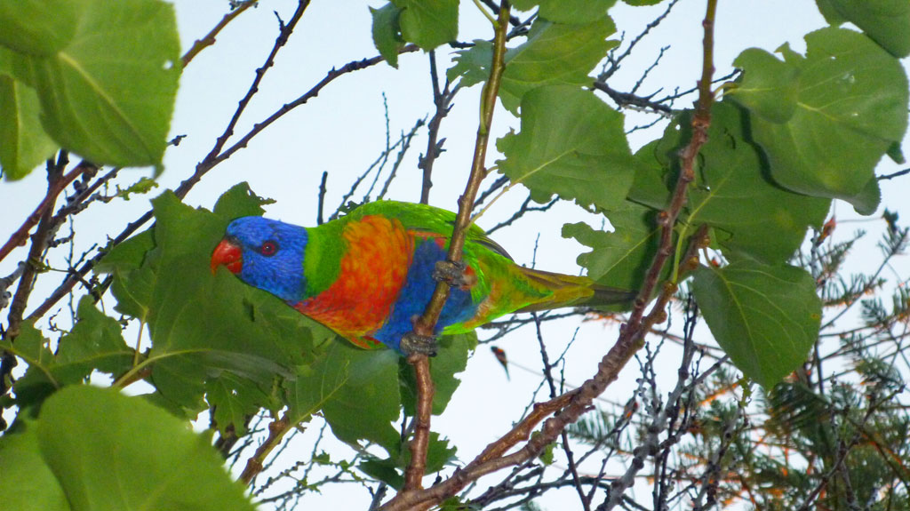 Lorikeet in Sydney